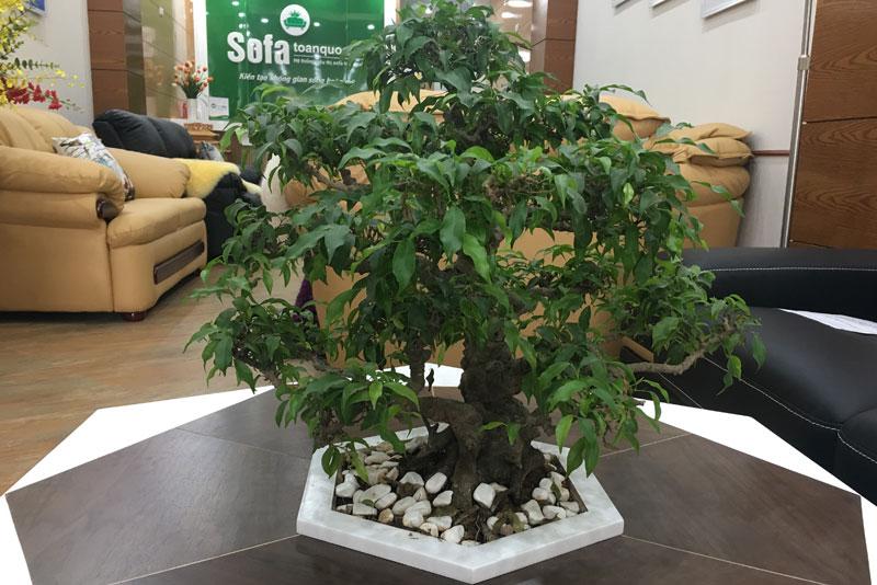 Bàn trà bonsai cây cảnh mã 93